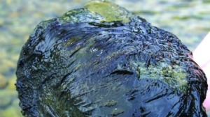 Blue-green algae monitoring starts